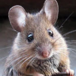 Specialising-in-Humane-Trapping-of-house-mice