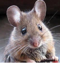 Pest Services Mice