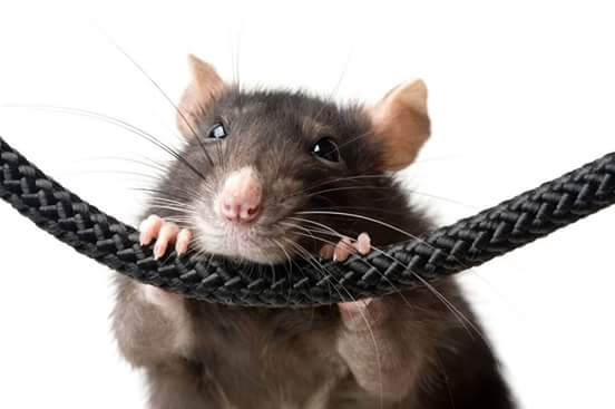 Specialising in HumaneTrapping of rats