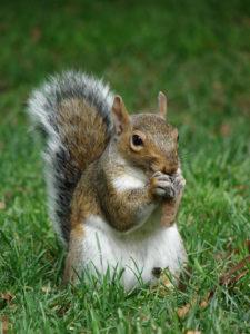 Pest Services Squirrels