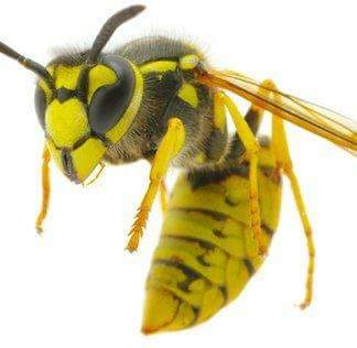 Pest Services wasps